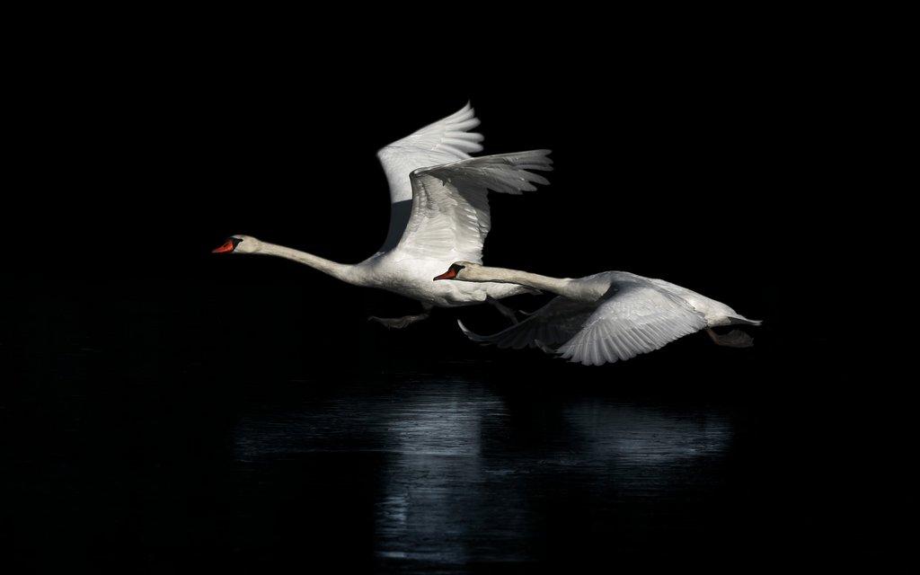 swan-bkg.jpg